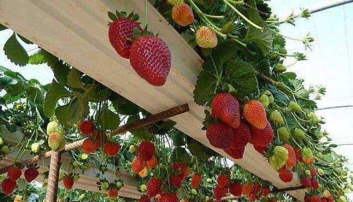 Canalones para cultivar fresas